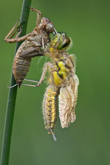 libellen schlupf die kleine welt der insekten co. Black Bedroom Furniture Sets. Home Design Ideas